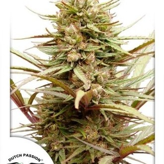 ComPassion (Dutch Passion) feminized
