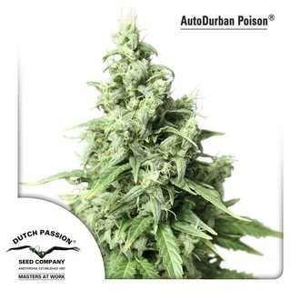 Auto Durban Poison (Dutch Passion) feminized