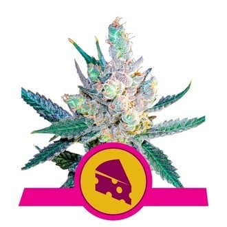 Royal Cheese - Fast Flowering (Royal Queen Seeds) feminized