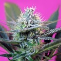 + Speed Auto (Sweet Seeds) feminized