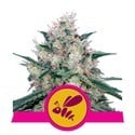 Honey Cream - Fast Flowering (Royal Queen Seeds) feminized