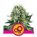 Bubble Kush (Royal Queen Seeds) feminized