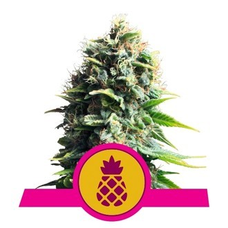 Pineapple Kush (Royal Queen Seeds) feminized