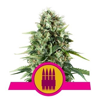 Royal AK (Royal Queen Seeds) feminized