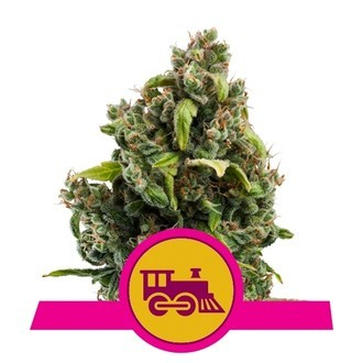Candy Kush Express - Fast Flowering (Royal Queen Seeds) feminized