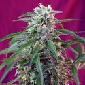 Green Poison Auto (Sweet Seeds) feminized