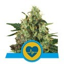 Medical Mass (Royal Queen Seeds) feminized