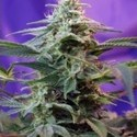 Sweet Special Auto (Sweet Seeds) feminized