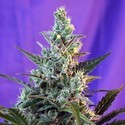 Sweet Skunk Auto (Sweet Seeds) feminized