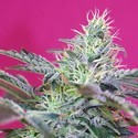Sweet Cheese Auto (Sweet Seeds) feminized