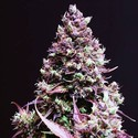 Cream Caramel Auto (Sweet Seeds) feminized