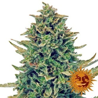 CBD Blue Shark (Barney's Farm) feminized