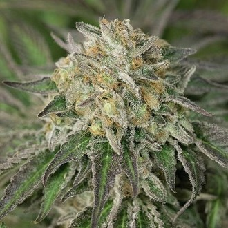 Amherst Sour Diesel (Humboldt Seeds) feminized