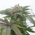 Bubba Kush 2.0 (Humboldt Seeds) feminized