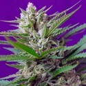 Speed Devil 2 (Sweet Seeds) feminized