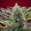 Cream 47 (Sweet Seeds) feminized