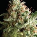 American Pie (Pyramid Seeds) feminized