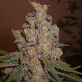 Cheese (Expert Seeds) feminized