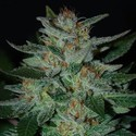 Blue Funk (Expert Seeds) feminized