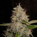 White Widow x Critical (Expert Seeds) feminized