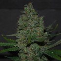 Maple Leaf x Black Domina (Expert Seeds) feminized