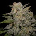 Northern Lights Auto (Expert Seeds) feminized