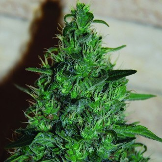 Critical AK Auto (Expert Seeds) feminized
