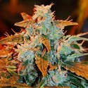Autoblueberry (Expert Seeds) feminized