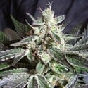 Black Jack (Sweed Seeds) feminized