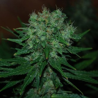 Blue Funk Auto (Expert Seeds) feminized