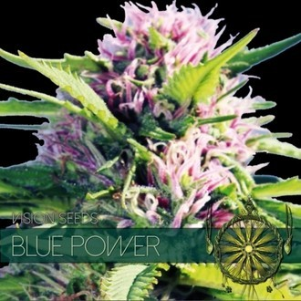 Blue Power (Vision Seeds) feminized