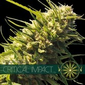 Critical Impact (Vision Seeds) feminized