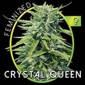 Crystal Queen (Vision Seeds) feminized