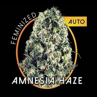 Amnesia Haze Autoflowering (Vision Seeds) feminized