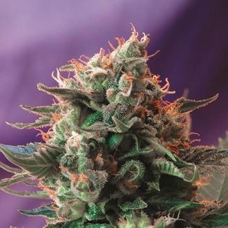 Jack 47 (Sweet Seeds) feminized
