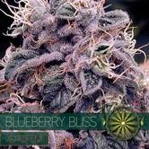Blueberry Bliss Autoflowering (Vision Seeds) feminisiert