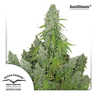Auto Ultimate (Dutch Passion) feminized