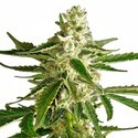 White Diesel Haze Automatic (White Label) feminized