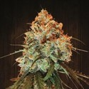 Golden Tiger (ACE Seeds) feminized