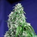 Big Devil - F1 Fast Version (Sweet Seeds) feminized