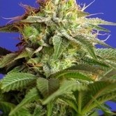 Green Poison (Sweet Seeds) feminized