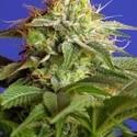 Green Poison (Sweet Seeds) feminisiert