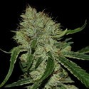 Tangilope (DNA Genetics) feminized