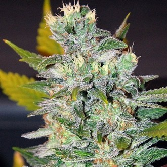 Space (World of Seeds) feminized