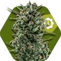 Amnesia Haze XL Autoflowering (Zambeza) feminized