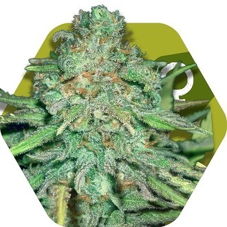 Lemon Kush (Zambeza) feminized