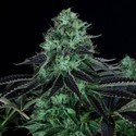Darkstar Kush (T.H. Seeds) feminized
