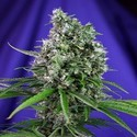 Sweet Trainwreck Auto (Sweet Seeds) feminized