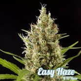 Easy Haze (Philosopher Seeds) feminized