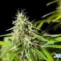 K13-Haze (Philosopher Seeds) feminized